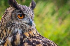 Bubo Bubo сыча орла стоковое фото