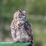 Bubo africanus Royalty Free Stock Photography