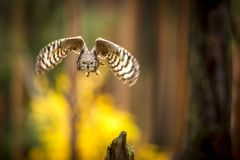 Bubo africanus into forest stock photo