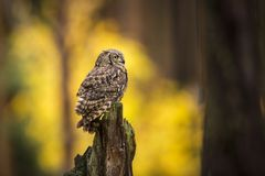 Bubo Africanus Into Forest Royalty Free Stock Photo