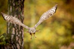Bubo africanus into forest stock images