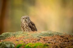 Bubo africanus into forest royalty free stock photography