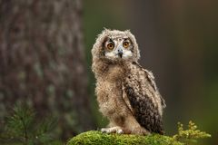 Bubo bengalensis. Autumn nature. Beautiful owl photo. Beautiful autumn colors in the photo. Color photograph. Owl in a beautiful setting. Photographed in Czech stock photography