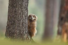 Bubo bengalensis. Autumn nature. Beautiful owl photo. Beautiful autumn colors in the photo. Color photograph. Owl in a beautiful setting. Photographed in Czech royalty free stock photos