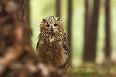 Bubo Bengalensis Fotograferat i tjeck Owl i natur Arkivfoto