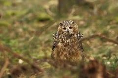 Bubo Bengalensis Fotograferat i tjeck Owl i natur Arkivbilder