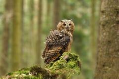 Bubo Bengalensis Fotograferat i tjeck Owl i natur Royaltyfri Bild