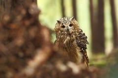 Bubo Bengalensis Fotograferat i tjeck Owl i natur Arkivbild