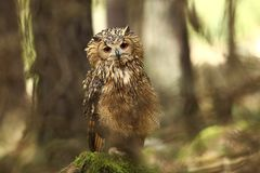 Bubo bengalensis. Photographed in Czech. Owl in nature. Beautiful photo. Autumn nature. Owl. Nature. Forest royalty free stock photo