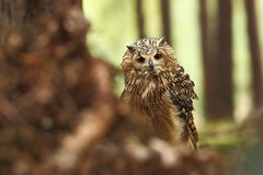 Bubo bengalensis. Photographed in Czech. Owl in nature. Beautiful photo. Autumn nature. Owl. Nature. Forest stock photography