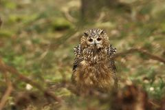 Bubo bengalensis. Photographed in Czech. Owl in nature. Beautiful photo. Autumn nature. Owl. Nature. Forest stock images