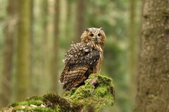 Bubo bengalensis. Photographed in Czech. Owl in nature. Beautiful photo. Autumn nature. Owl. Nature. Forest royalty free stock image
