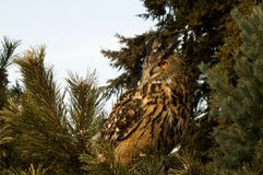 Bubo bubo Royalty Free Stock Photography