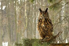 Bubo bubo Royalty Free Stock Image