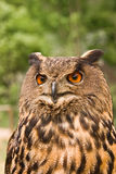 Bubo bubo. Fierce looking owl, the european oehoe or Bubo bubo Stock Photography