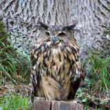 Bubo bubo. In the nature Royalty Free Stock Image