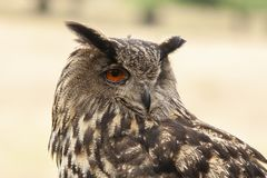 Eagle Owl, Bubo bubo, bird of prey royalty free stock photography