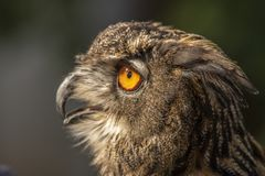 Eagle Owl, Bubo bubo, bird of prey royalty free stock images