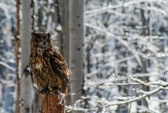 Bubo Bubo eagle-owl stock images