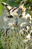Bubo bubo Stock Images