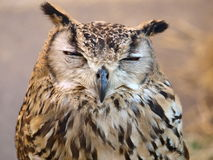 Bubo bubo Royalty Free Stock Images