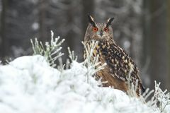 Bubo bubo in forest Stock Photography