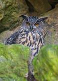 Bubo bubo - horned owl Stock Photo