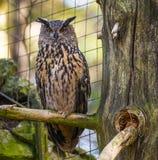 Bubo bubo - horned owl Stock Photos