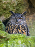 Bubo bubo - horned owl Stock Photography