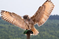 Bubo bubo. A bubo bubo that is landing Stock Photos