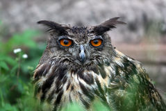 Bubo bubo owl. Sitting in the grass Royalty Free Stock Photos