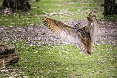 Flying bubo owl. Bubo bubo owl in action Royalty Free Stock Photos