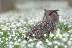 Bubo Bubo - owl, deep in the woods stock photography