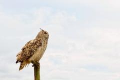 Bubo bubo owl Royalty Free Stock Photos