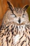 Bubo bubo sibiricus. Eurasian Eagle-owl is sitting on branch in zoo stock photo
