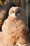 Bubo bubo sibiricus. Eurasian Eagle-owl is sitting on branch in zoo stock photos