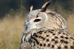 Bubo Bubo Sibiricus. With a blurry background Royalty Free Stock Photos