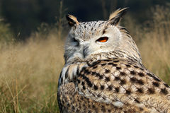 Bubo Bubo Sibiricus Stock Photos