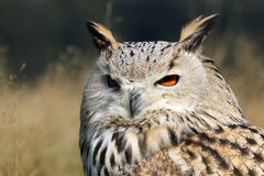 Bubo Bubo Sibiricus. With a blurry background Stock Image
