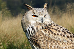 Bubo Bubo Sibiricus. With a blurry background Stock Photography