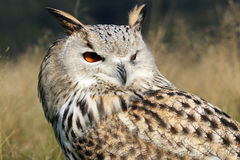 Bubo Bubo Sibiricus. With a blurry background Royalty Free Stock Photography