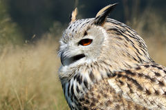 Bubo Bubo Sibiricus. With a blurry background Stock Photos