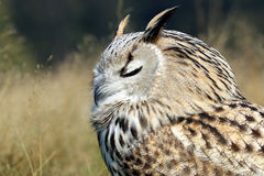 Bubo Bubo Sibiricus. With a blurry background Royalty Free Stock Images