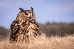Bubo bubo. Sitting on the field Stock Images