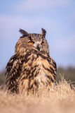 Bubo bubo. Sitting on the field Royalty Free Stock Image