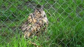 Bubo à cornes de bubo de duc d'oiseau mignon derrière la barrière dans le jardin zoologique de zoo banque de vidéos