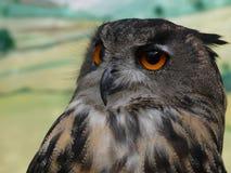 Bubo bubo - Eurasian Eagle Owl, European Eagle owl, close up stock image