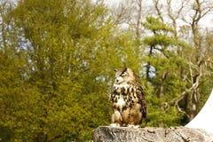Bubo eurasien de bubo d'Eagle-hibou Images stock
