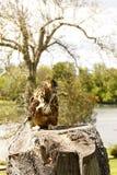 Bubo eurasien de bubo d'Eagle-hibou Images libres de droits