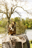 Bubo för EurasianEagle-uggla bubo Royaltyfria Bilder